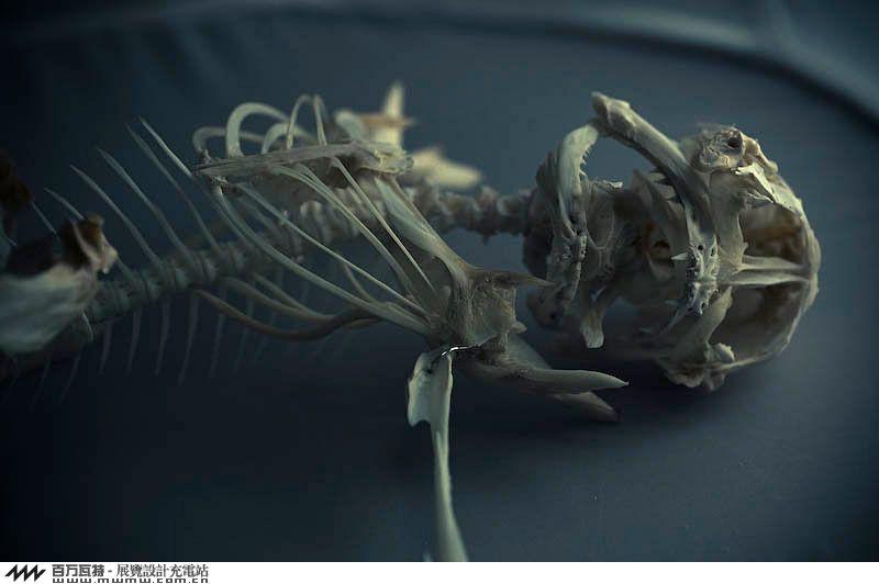 鱼骨骼结构图介绍